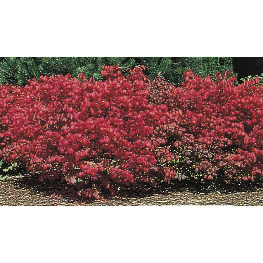 2.84-Quart Dwarf Burning Bush Foundation/Hedge Shrub (L1009)