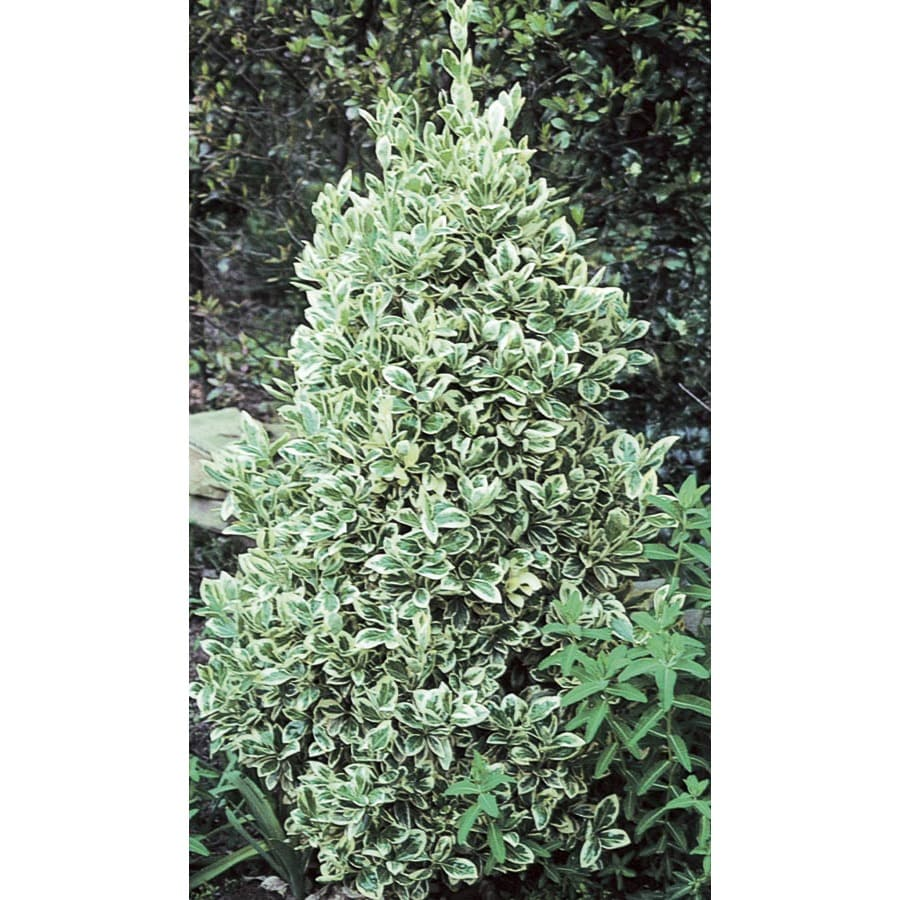 2.84-Quart Silver King Euonymus Accent Shrub (L3842)