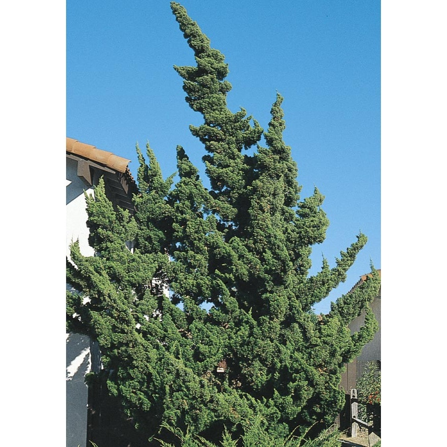 2.84-Quart Hollywood Twisted Juniper Screening Shrub (L9413)