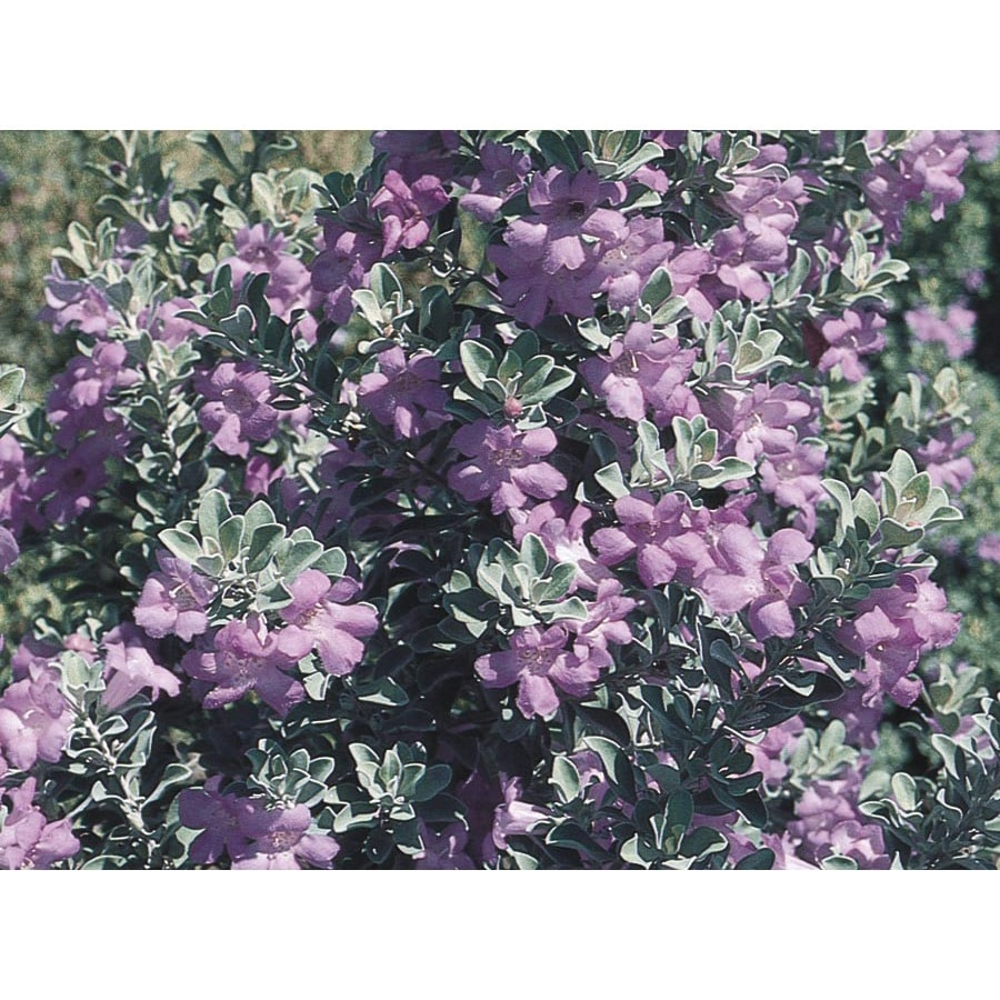 2.84-Quart Purple Texas Sage Flowering Shrub (L3562)