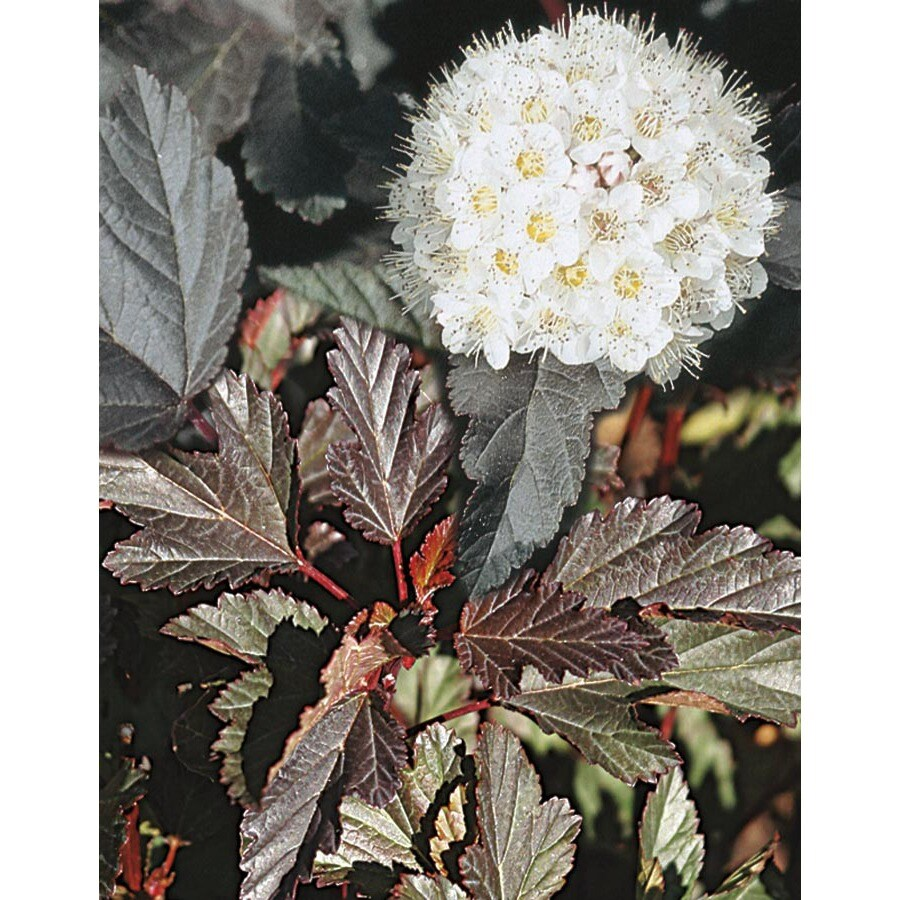 2.84-Quart White Ninebark Accent Shrub (L20513)