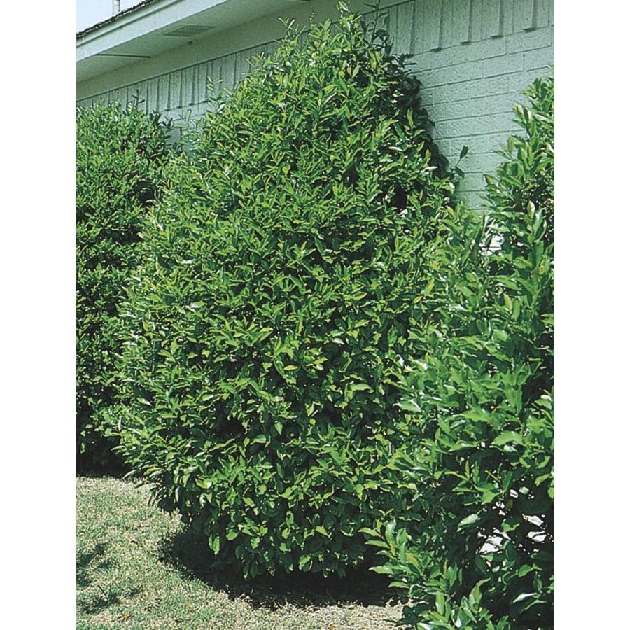 2.84-Quart Carolina Cherry Laurel Screening Tree (L11188)