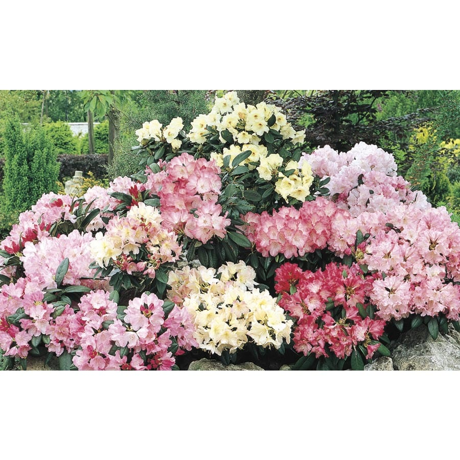 2.84-Quart Mixed Rhododendron Flowering Shrub (L5420)
