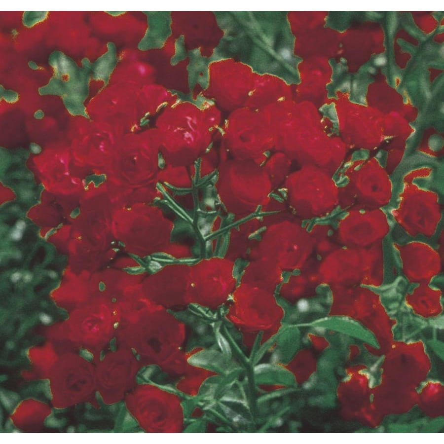 2.84-Quart Red Lady Banks Rose (LW03784)