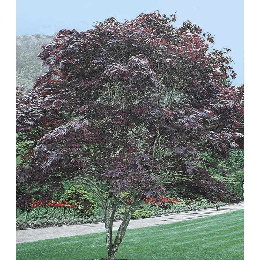 28.6-Gallon Bloodgood Japanese Maple Feature Tree (L1088)