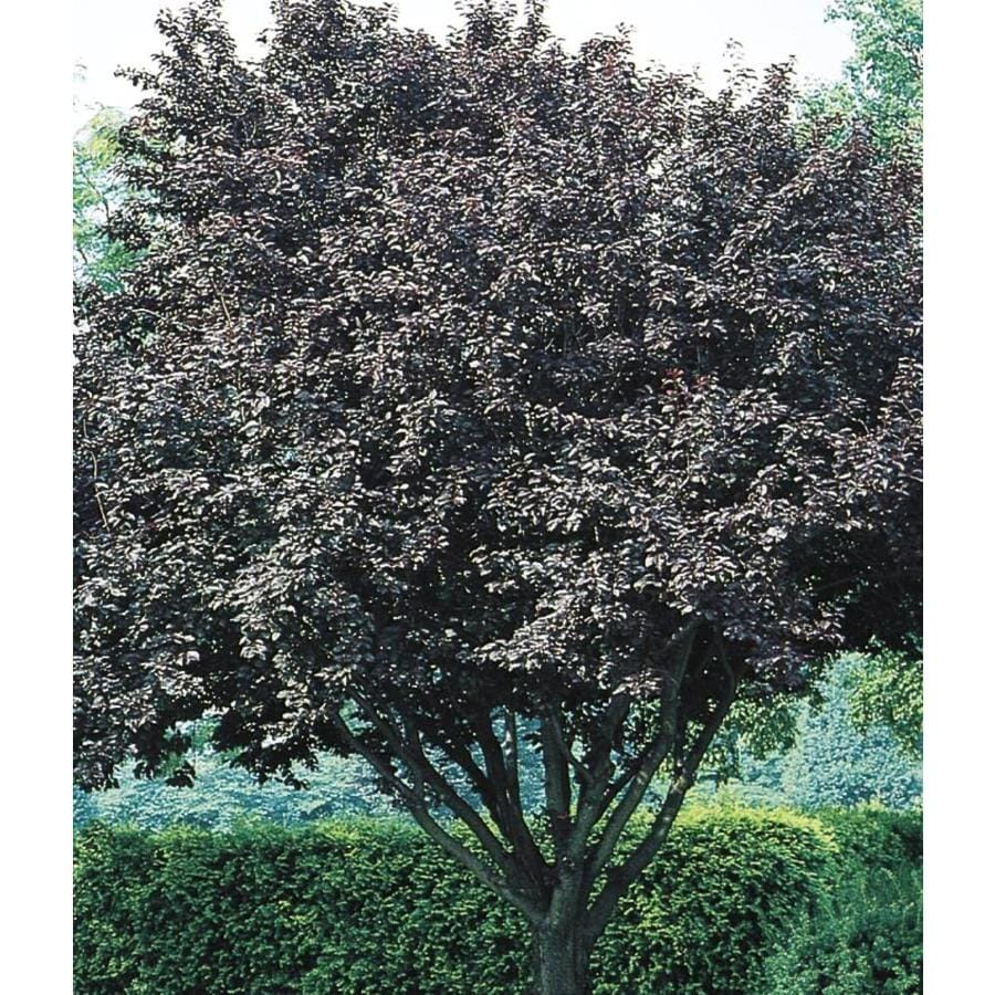28.6-Gallon Flowering Plum Flowering Tree (L5986)