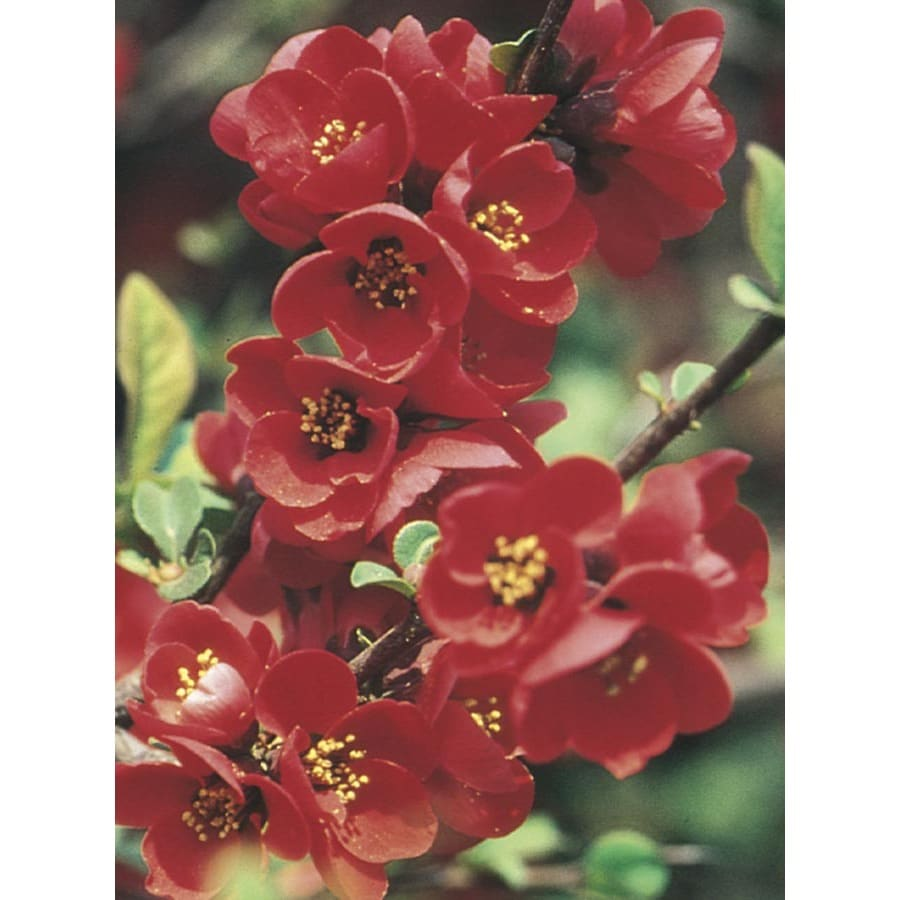 3.25-Gallon Red Red Flowering Quince Flowering Shrub (L4475)
