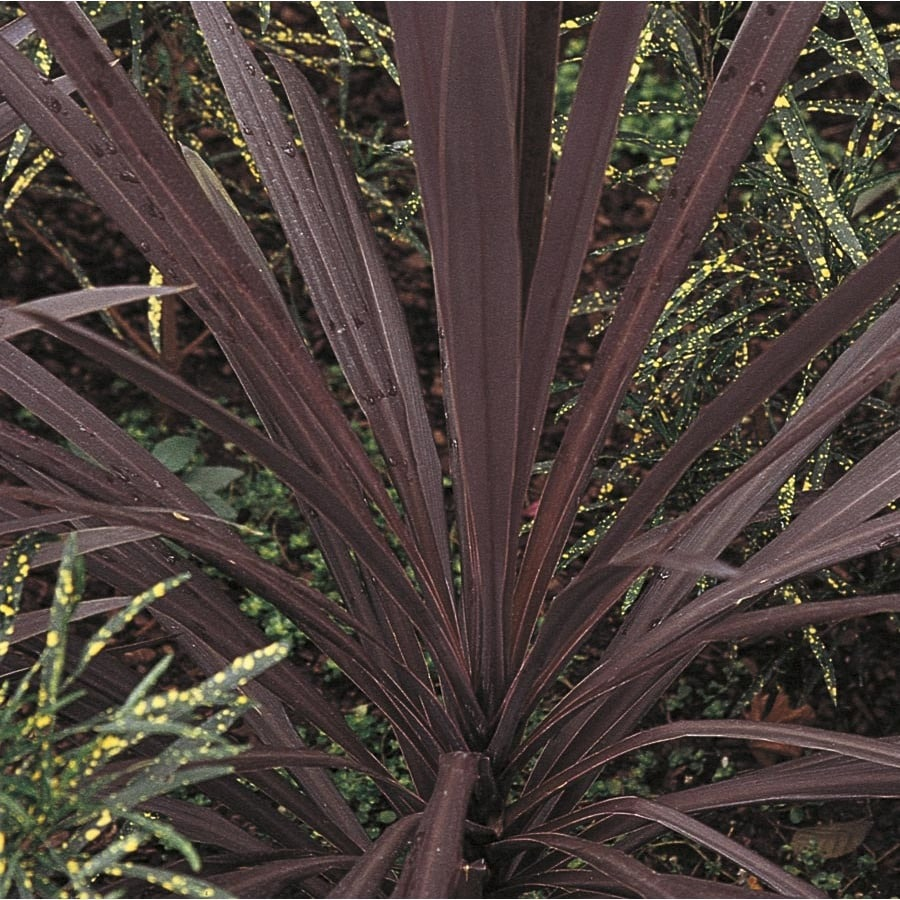 3.25-Gallon Cordyline (Lw01509)
