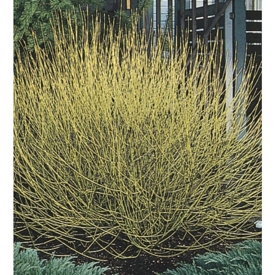 3.25-Gallon White Yellow Twig Dogwood Accent Shrub (L10833)