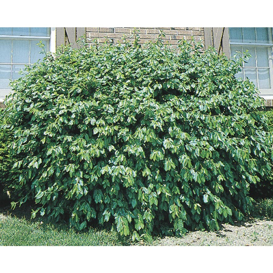 3.25-Gallon Manhattan Euonymus Accent Shrub (L3902)
