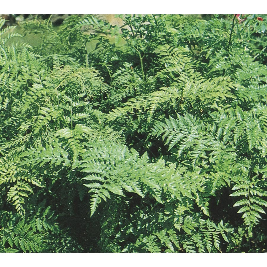 3.25-Gallon Leatherleaf Fern (L7513)