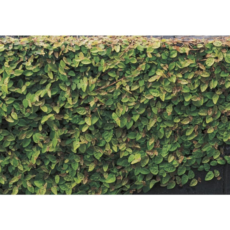 3-Gallon Creeping Fig Pot (L9249)