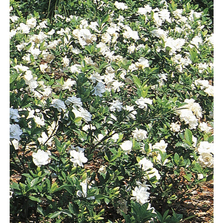 3.25-Gallon White Gardenia Flowering Shrub (L5150)