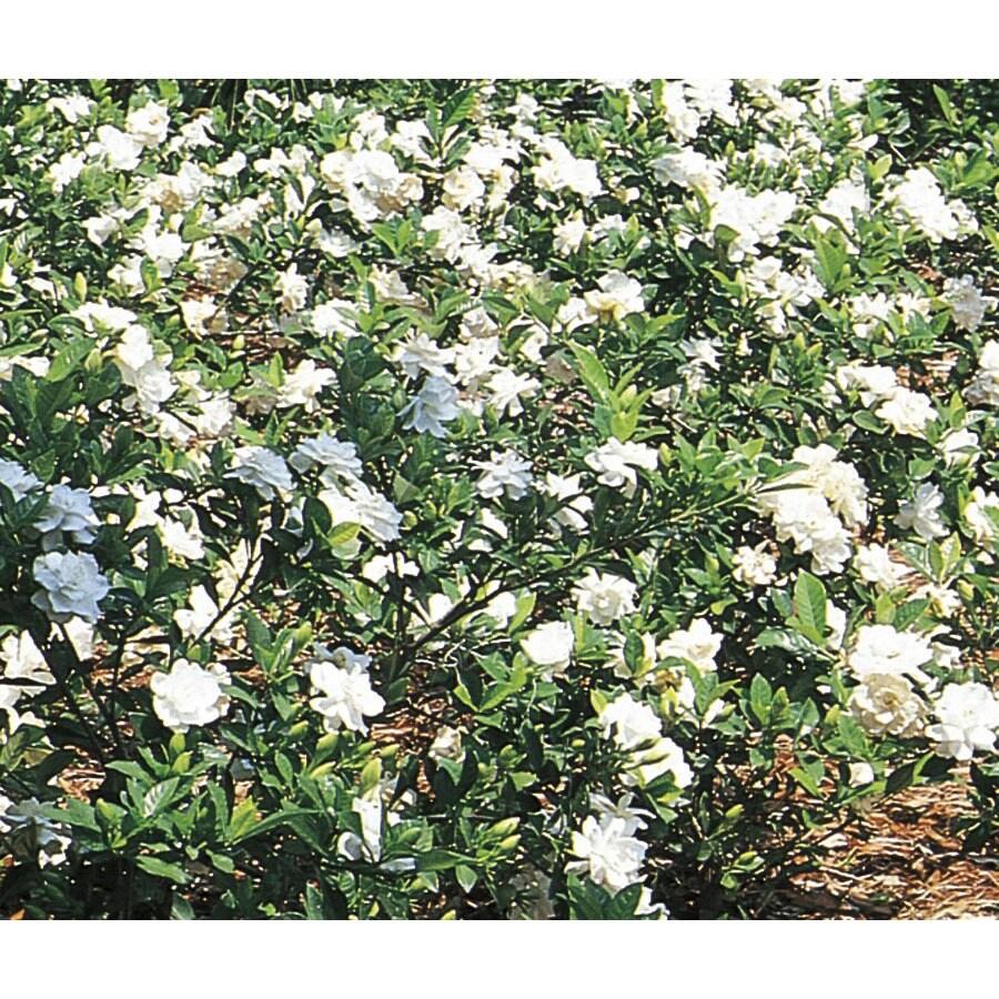 3.25-Gallon White Gardenia Flowering Shrub (L5150)