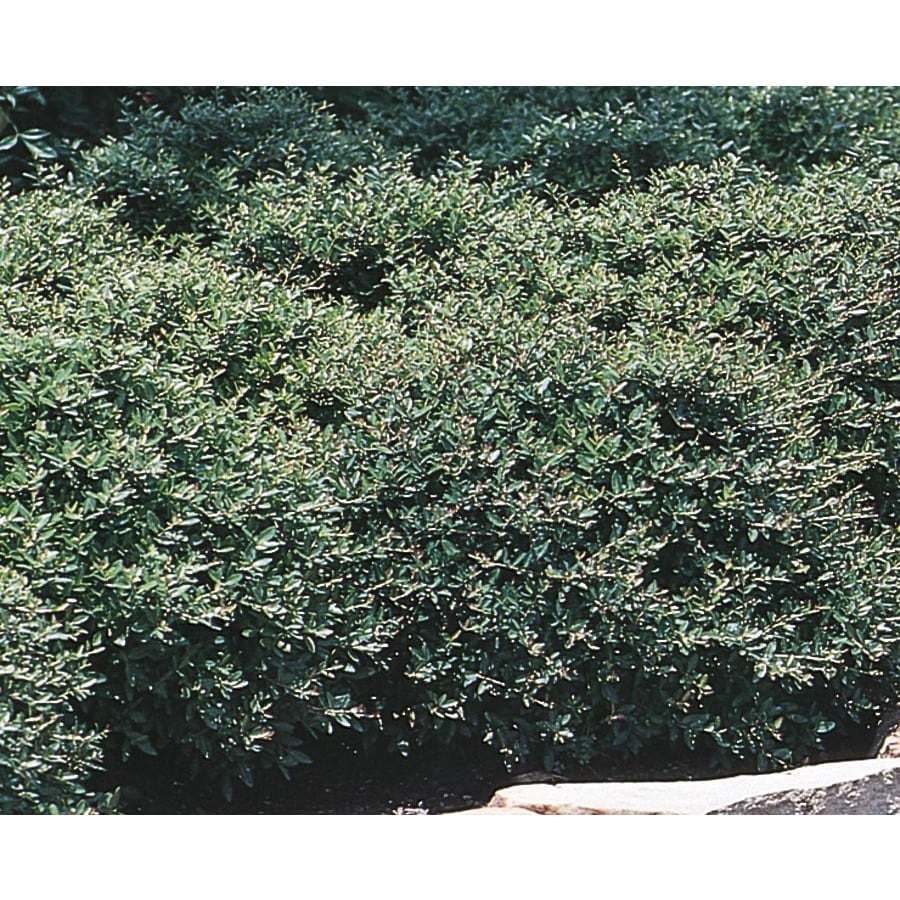 3.25-Gallon Stokes Dwarf Yaupon Holly Foundation/Hedge Shrub (L9287)