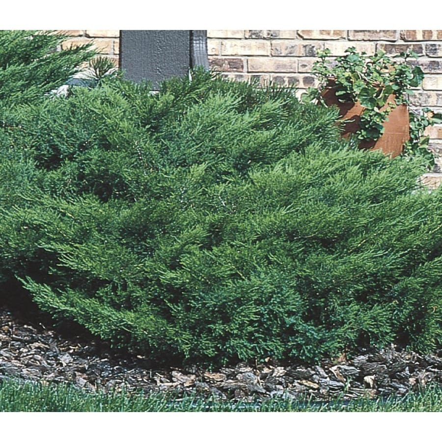 3.25-Gallon Arcadia Juniper Accent Shrub (L14487)