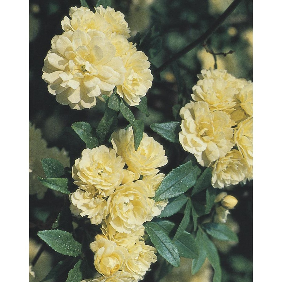 Shop 3 25 Gallon Yellow Lady Banks Rose L9769 At Lowes Com