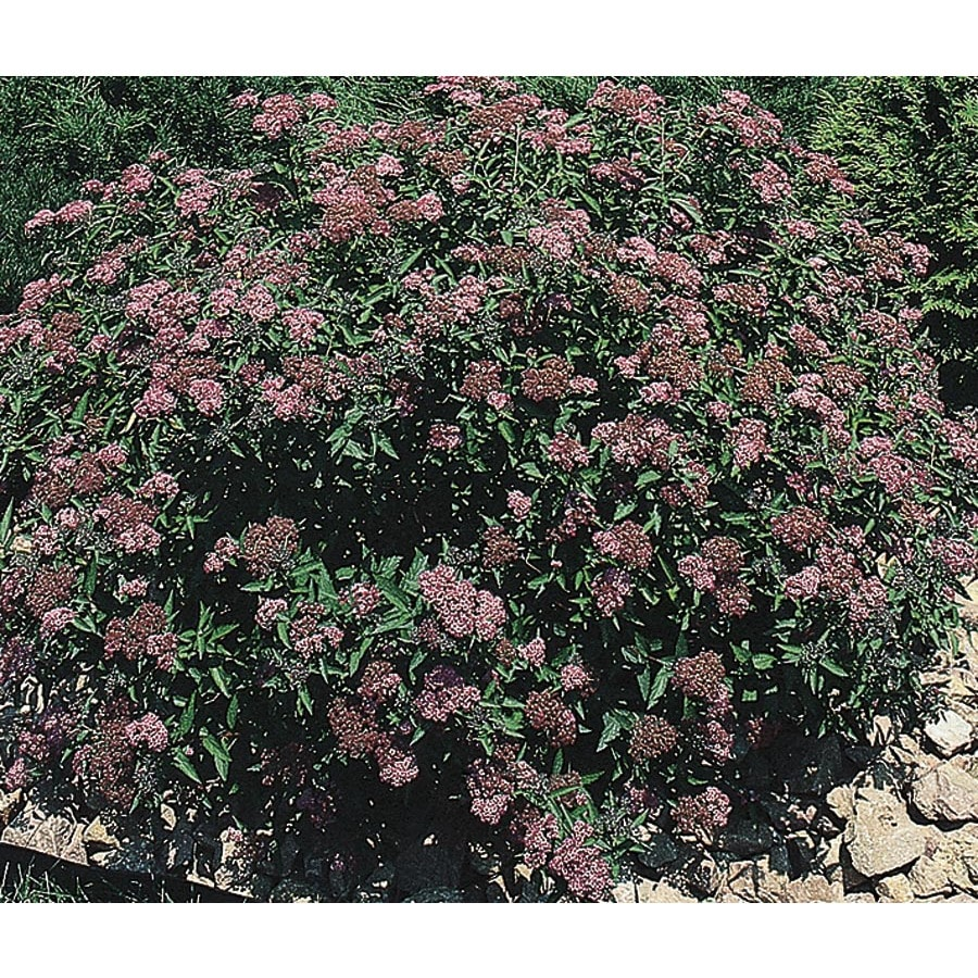 2.84-Quart Red Anthony Waterer Spirea Flowering Shrub (L3754)