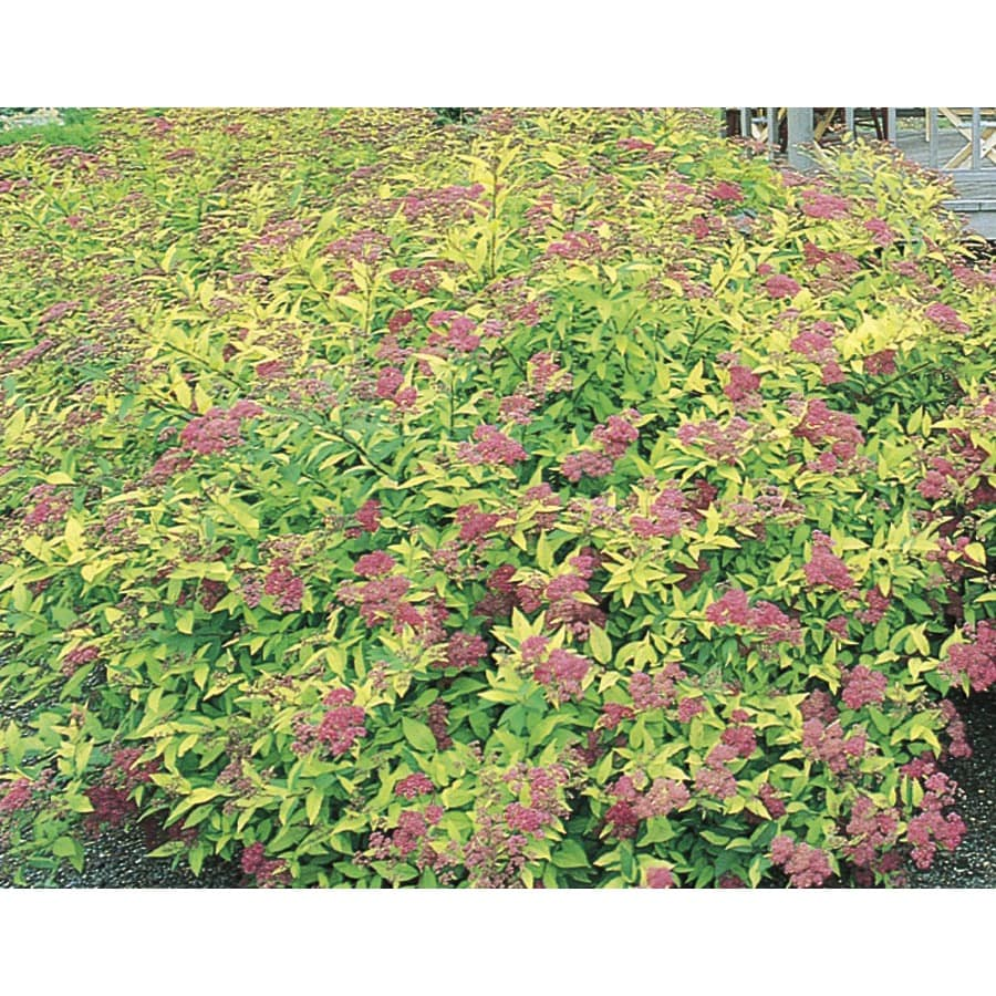 2.84-Quart Pink Goldflame Spirea Flowering Shrub (L8408)