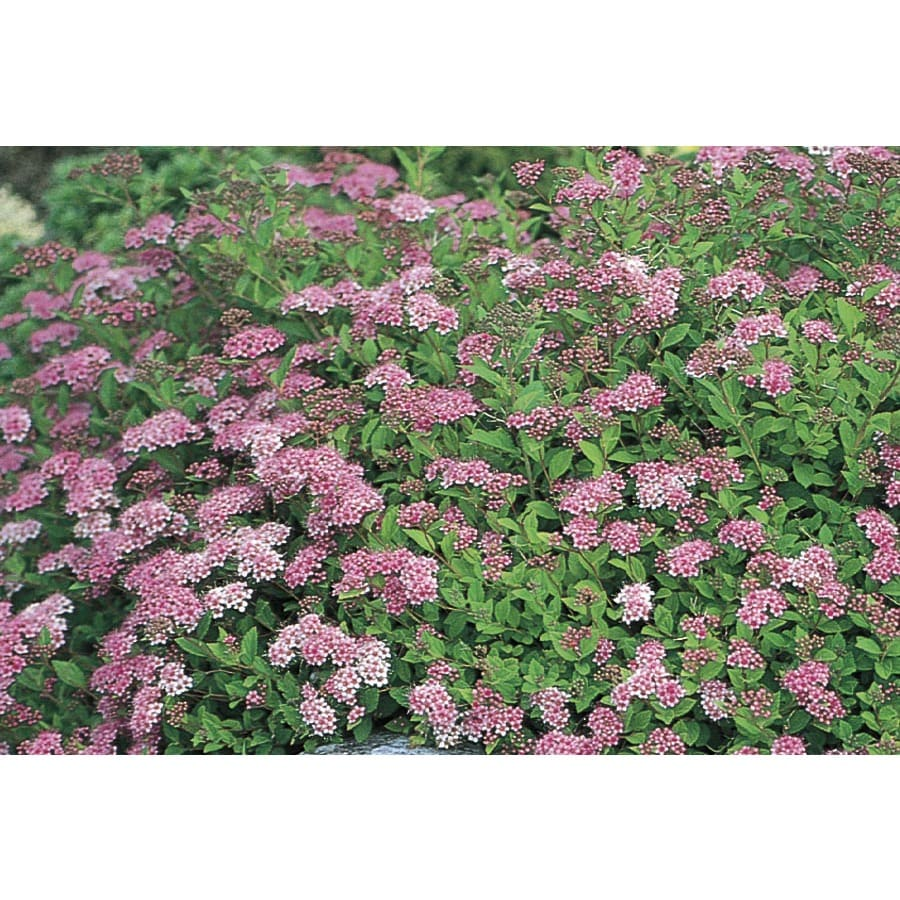 2.84-Quart Pink Little Princess Spirea Flowering Shrub (L3749)