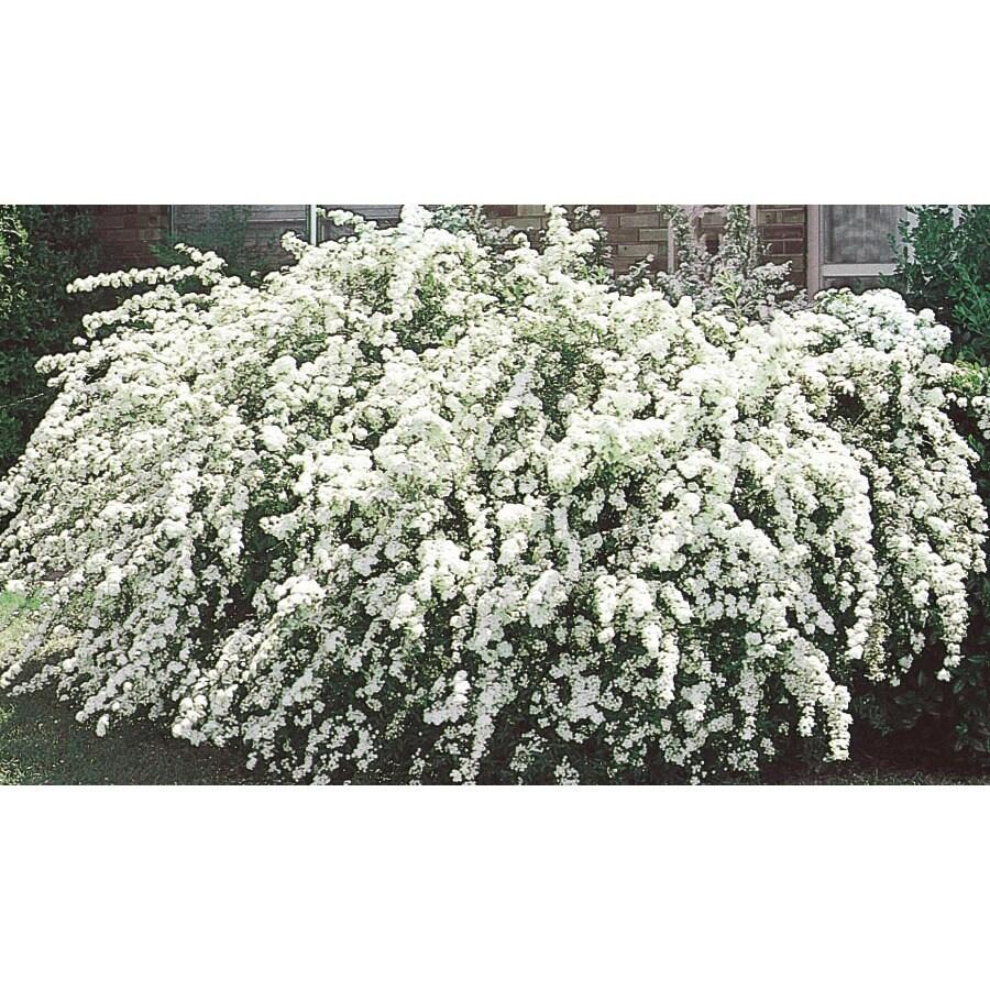 2.84-Quart White Vanhoutte Spirea Flowering Shrub (L3947)