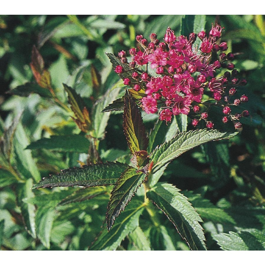 2.84-Quart Red Neon Flash Spiraea Flowering Shrub (L6958)