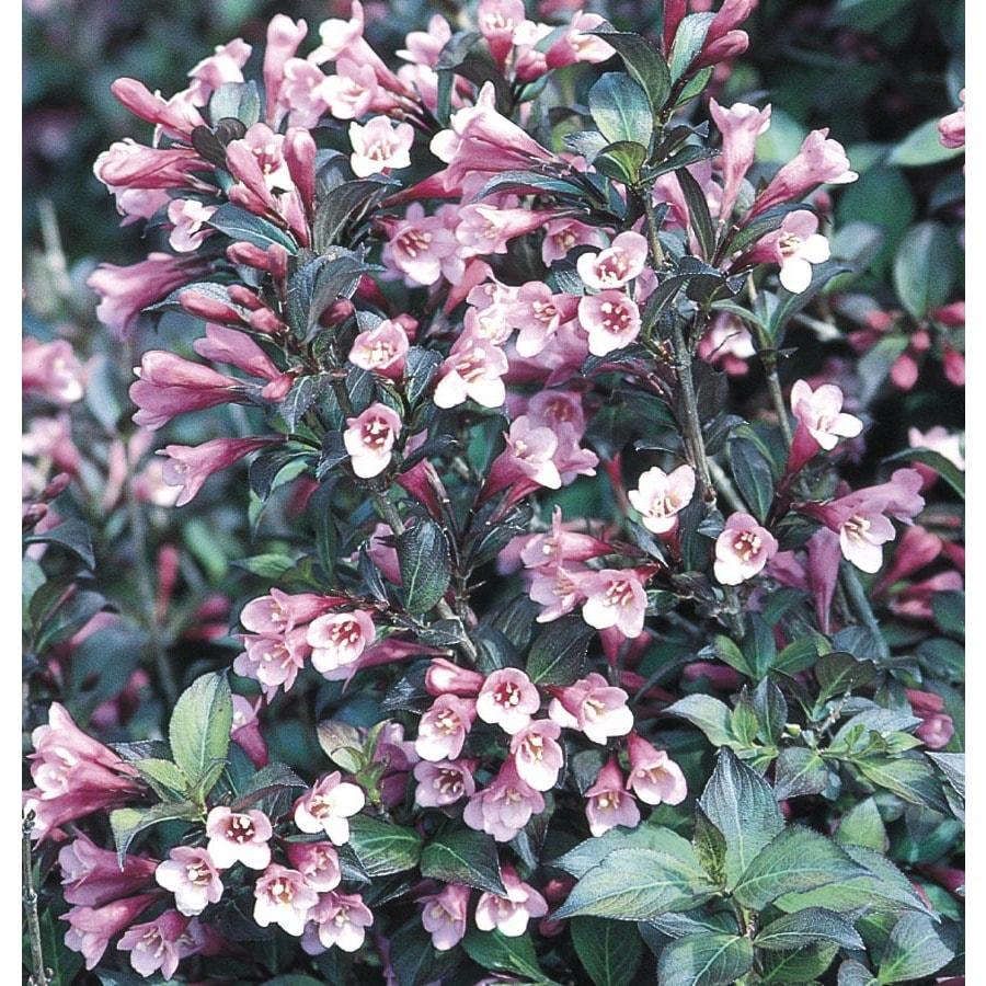 2.84-Quart Red Java Red Weigela Flowering Shrub (L3775)