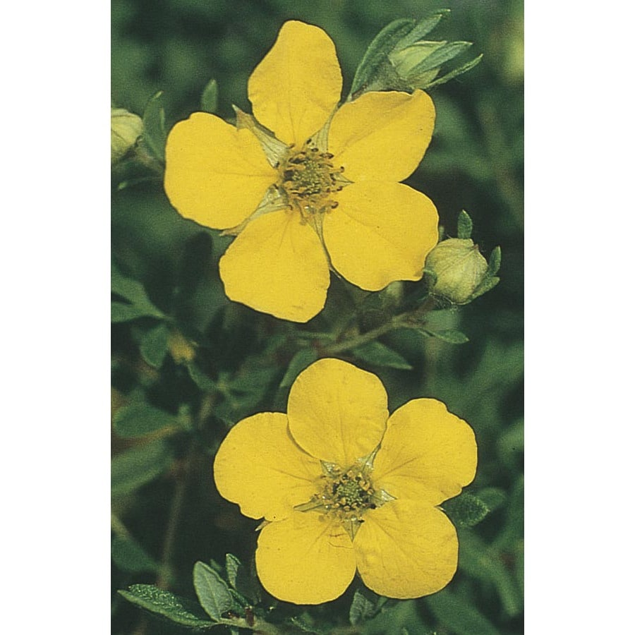 2.84-Quart Yellow Gold Drop Potentilla Flowering Shrub (L3941)