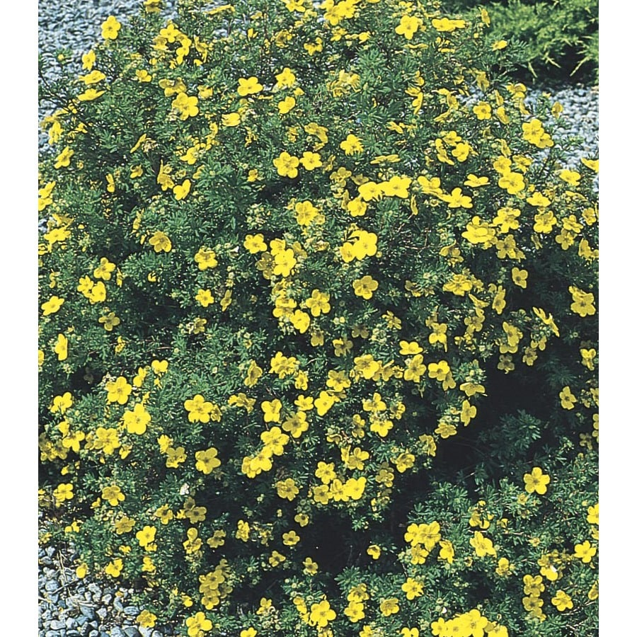 2.84-Quart Yellow Goldfinger Cinquefoil Flowering Shrub (L3625)