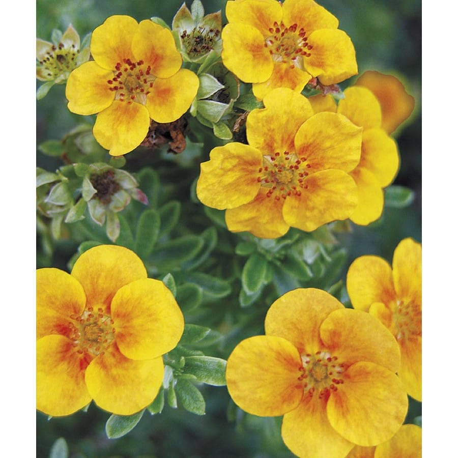 2.84-Quart Bicolor Mango Tango Potentilla Flowering Shrub (LW02907)