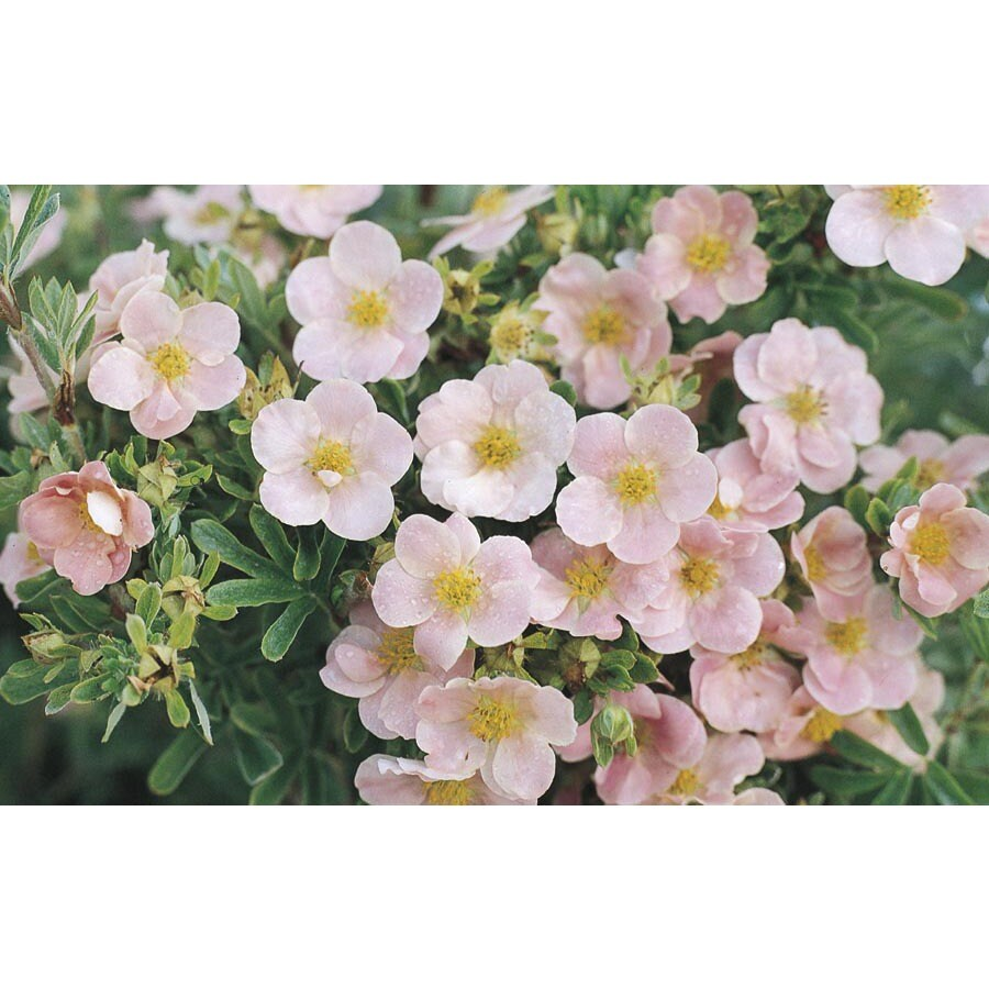 2.84-Quart Pink Beauty Potentilla Flowering Shrub (L14254)