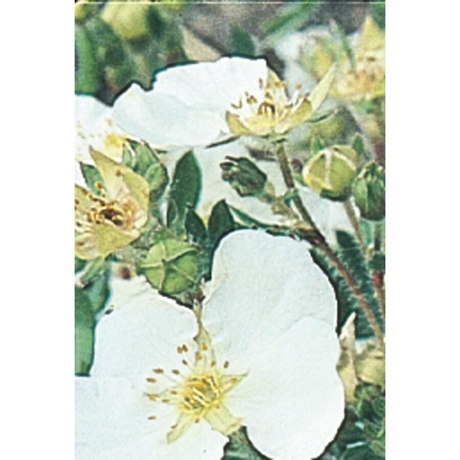 2.84-Quart White Abbottswood Potentilla Flowering Shrub (L4537)