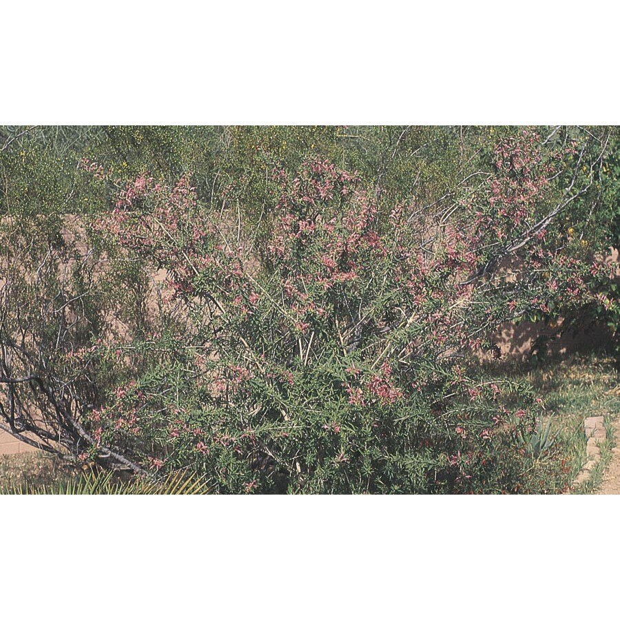2.84-Quart Red Common Emu Bush Accent Shrub (LW00075)