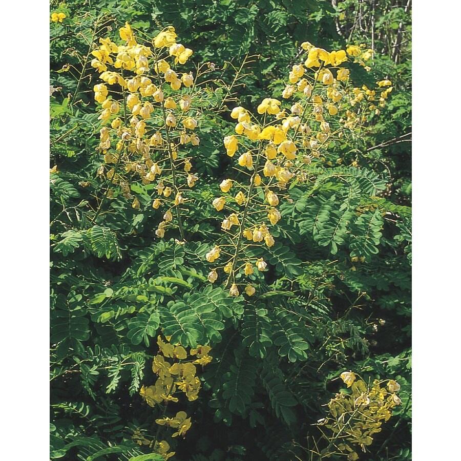 2.84-Quart Yellow Mexican Bird of Paradise Flowering Shrub (L7485)