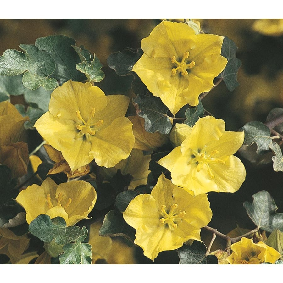 Shop 325 Gallon Yellow Flannel Bush Flowering Shrub L24805 At