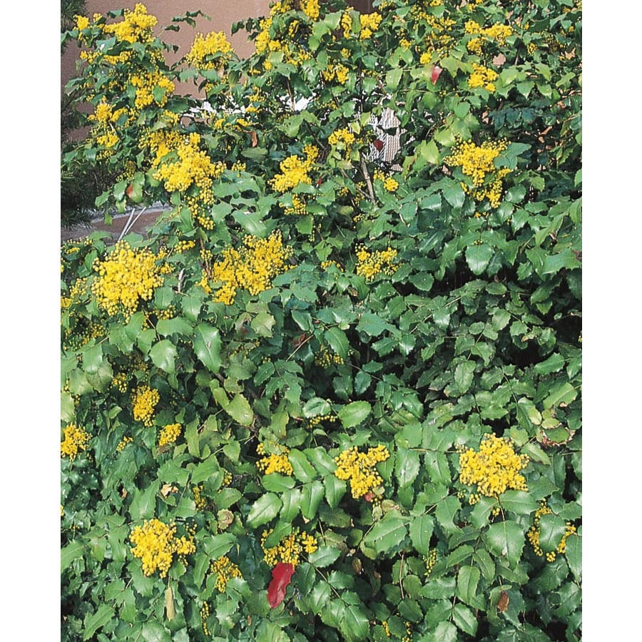2.84-Quart Yellow Oregon Grape Holly Accent Shrub (L5649)