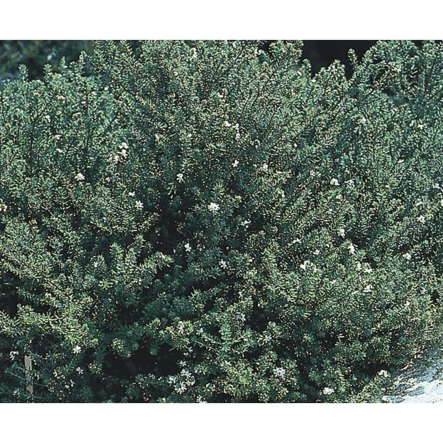 2.84-Quart White Westringia Flowering Shrub (L22814)