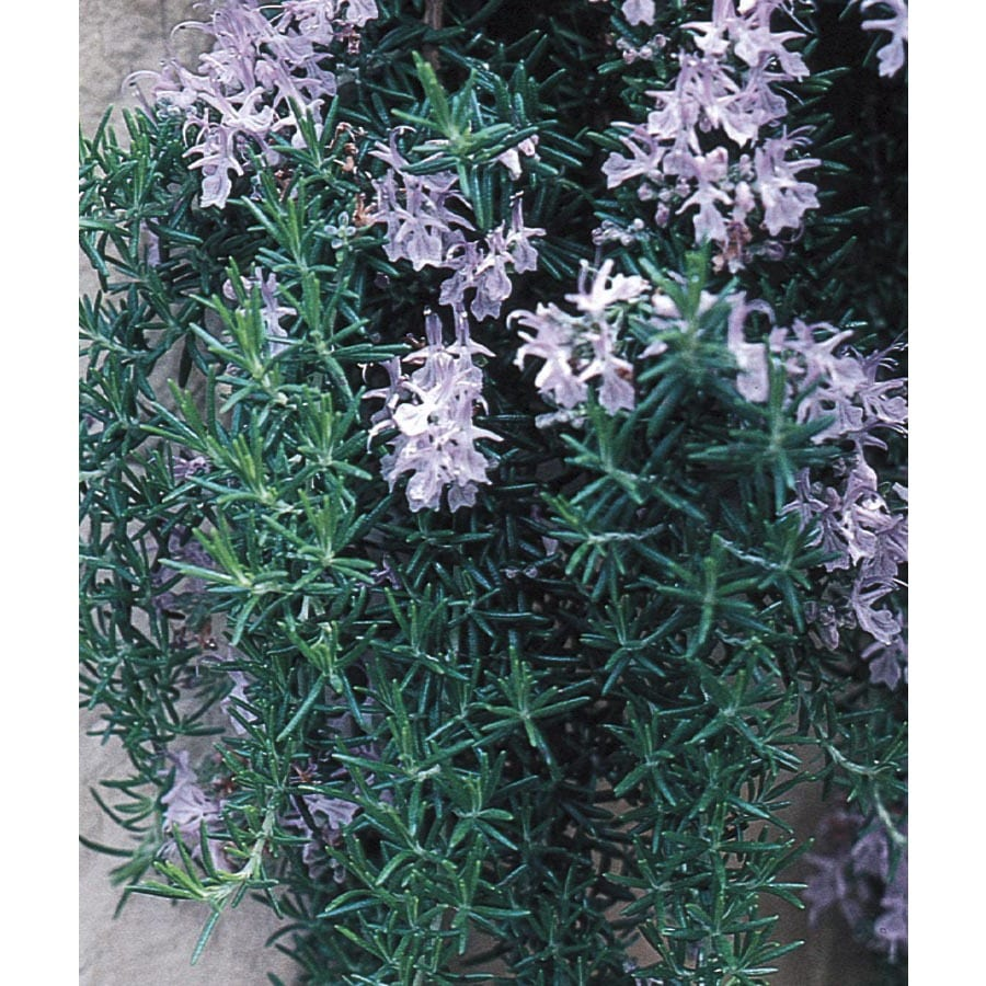 3.25-Gallon Blue Trailing Rosemary Accent Shrub (L5794)