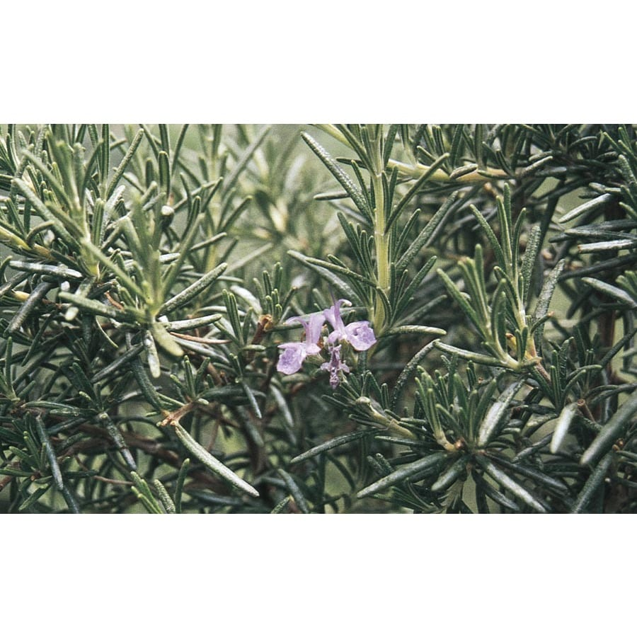 3.25-Gallon Blue Ken Taylor Rosemary Accent Shrub (L23282)