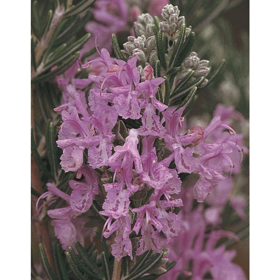 3.25-Gallon Pink Majorca Pink Rosemary Accent Shrub (L24777)