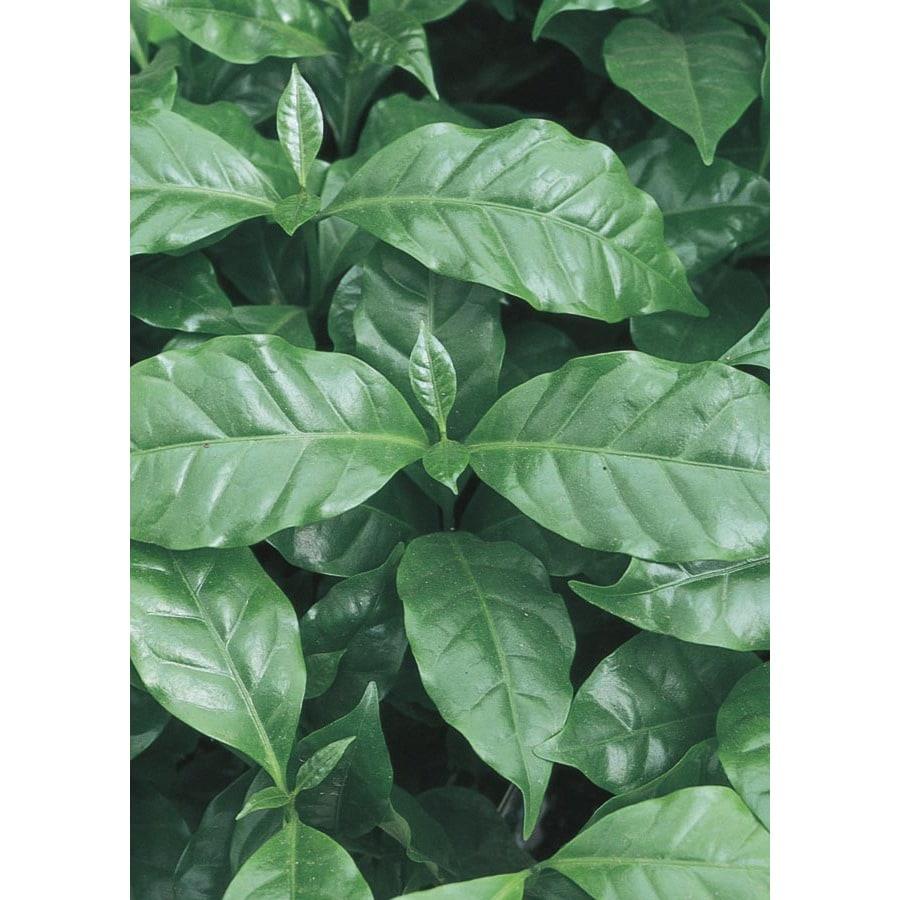 2.84-Quart Coffee Plant (LW00479hp)