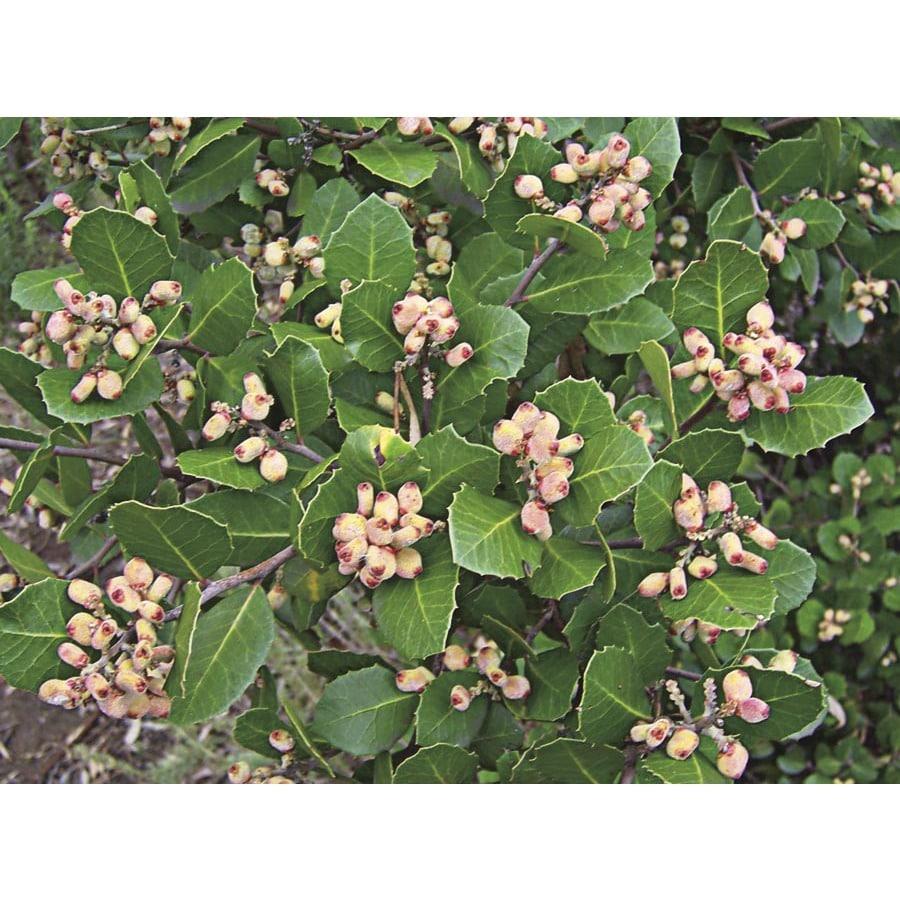 Shop 284 quart pink lemonade berry accent shrub l24765 at lowes 284 quart pink lemonade berry accent shrub l24765 mightylinksfo