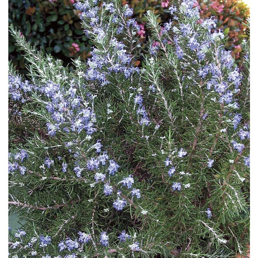 1-Gallon Blue Chef's Choice Rosemary Accent Shrub (L24776)
