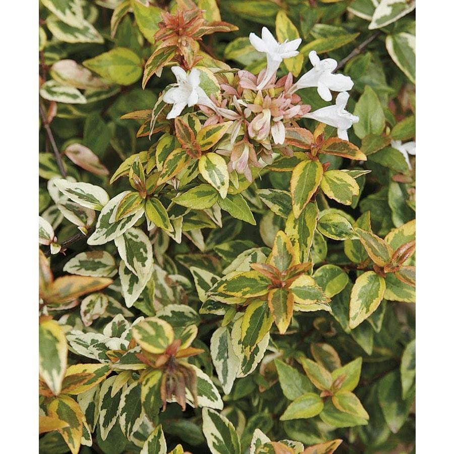 2.5-Gallon White Kaleidoscope Abelia Flowering Shrub (LW03279)