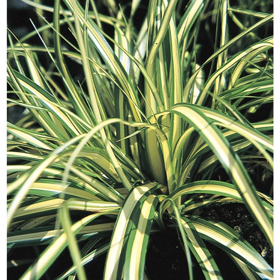 Shop monrovia 1 gallon evergold japanese sedge l15313 at for Japanese mounding grass