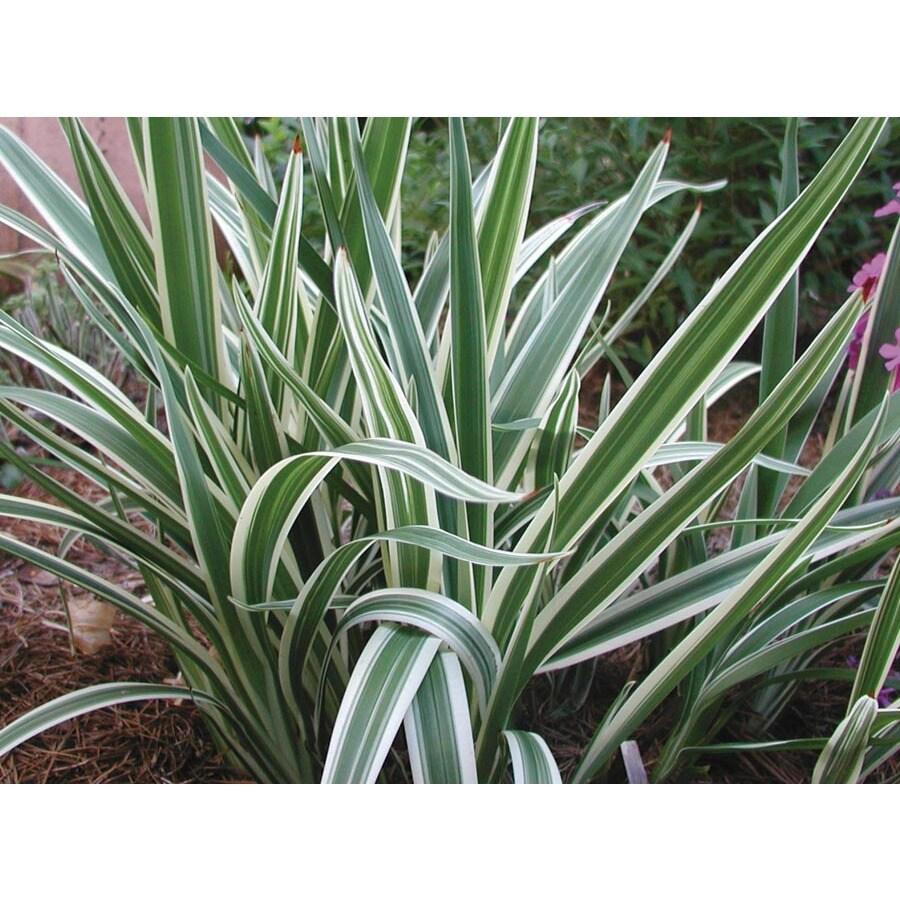 1-Gallon Variegated Flax Lily (L2149)