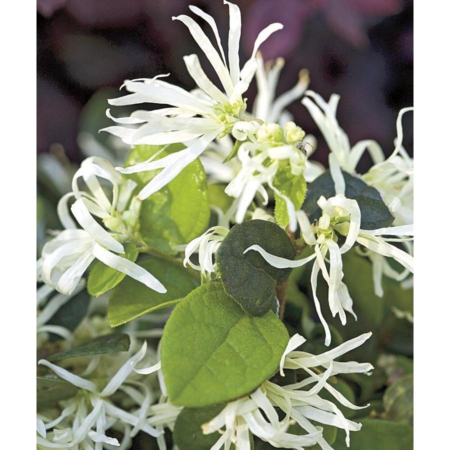 1-Gallon White Emerald Snow Loropetalum Accent Shrub (L23336)