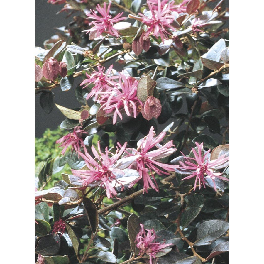 2.5-Gallon Pink Plum Delight Chinese Fringe-Flower Accent Shrub (L6937)