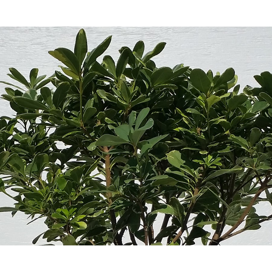 Monrovia 3-Gallon Pittosporum