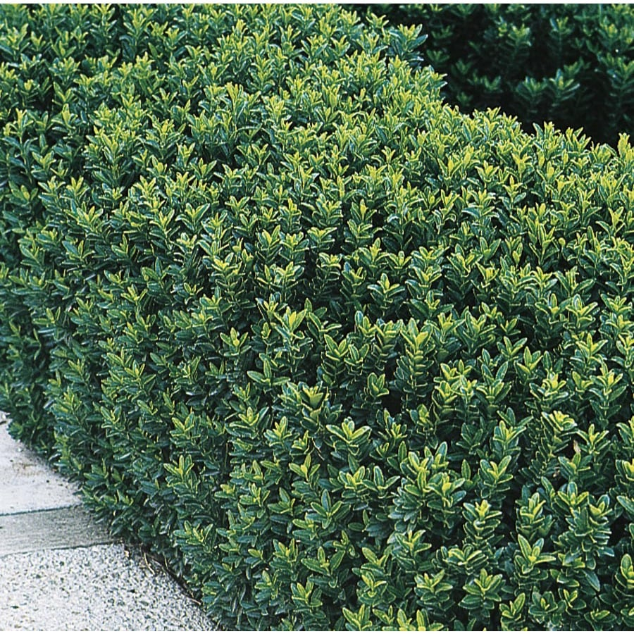 2.84-Quart Green Spire Euonymus Accent Shrub (L8158)